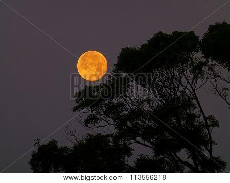 Big Yellow Moon Rise And Tree