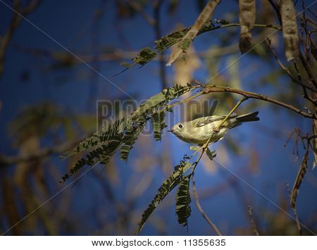 Pine Warbler Front View