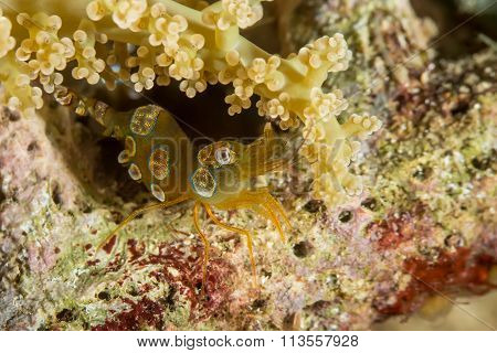 Thor Amboinensis, Sexy Shrimp On Softcoral