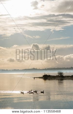 Canada Geese Swimming Across The Comox Estuary