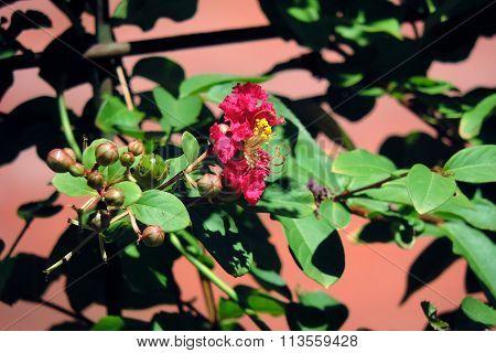Pink Crepe Myrtle Flower