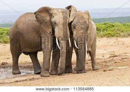 Two Elephants Standing Rubbing Against Each Other