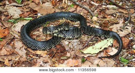 Black Kingsnake (Lampropeltis getula)
