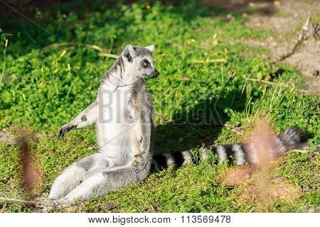 Lemur Sunning