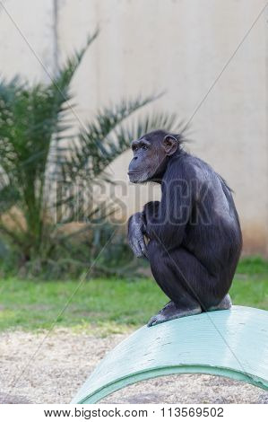One Chimpanzee