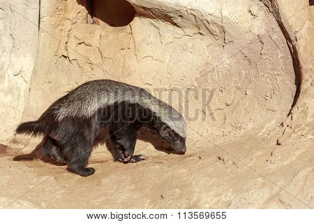 One Gray Honey Badger