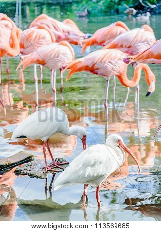 The Pink Flamingo Bird And The White Ibis On The Lake In The Park