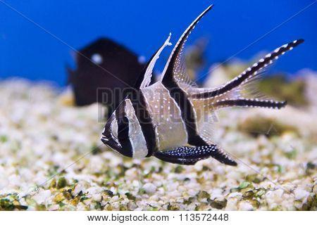 Apogon Pterapogon Kauderni