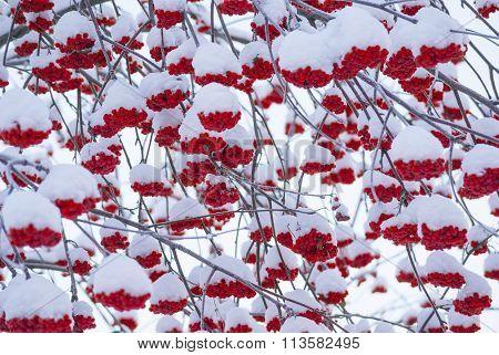 Rowan tree bunches under snow background