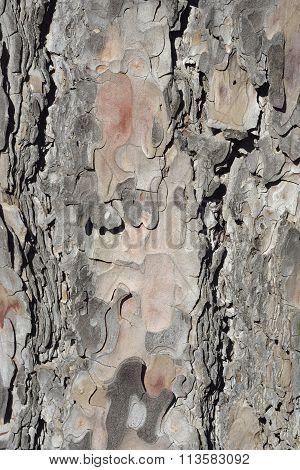 Calabrian Or Turkish Pine Bark Detail