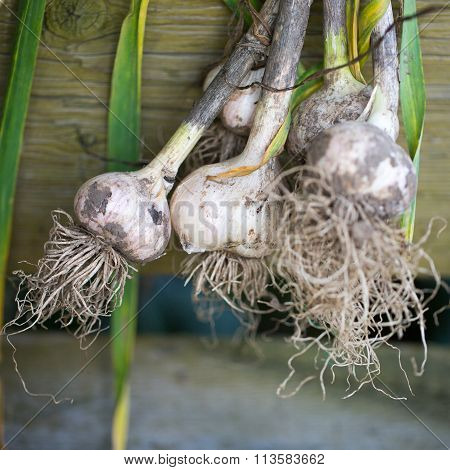 Garlic plucked from the garden