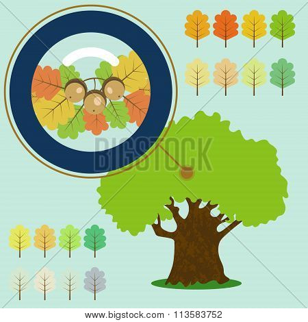 Infographic Of Old Oak, Acorn Under The Loupe.