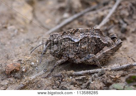 Mottled cryptic grasshoppers in Azerbaijan