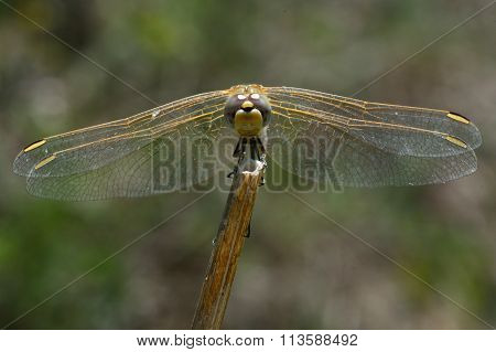 Red-veined darter (Sympetrum fonscolombii) head-on