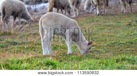 Cute Playfull Lamb grazing