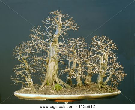 Hornbeam Forest Bonsai In Winter