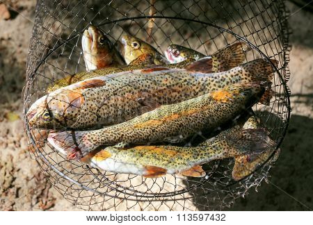 Brook Trout Fish In A Fishing Net After Fishing.