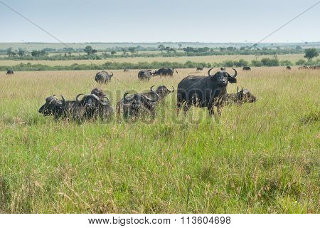 African buffalo natural envioronment at savannah