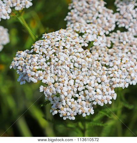 Yarrow (lat. Achillea Millefolium)