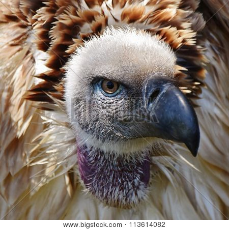 Large Cape Vulture