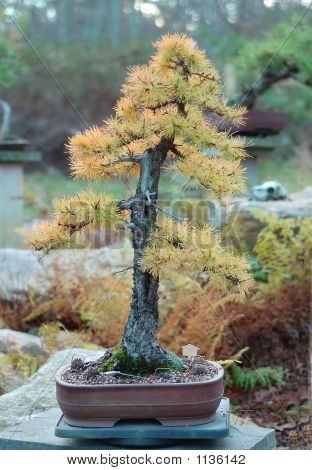 American Larch Bonsai
