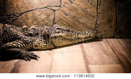 Young Crocodile And Stone Background