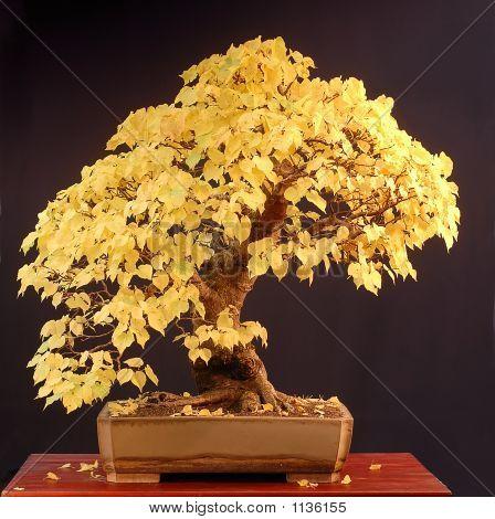 Linden Bonsai In Fall Colors