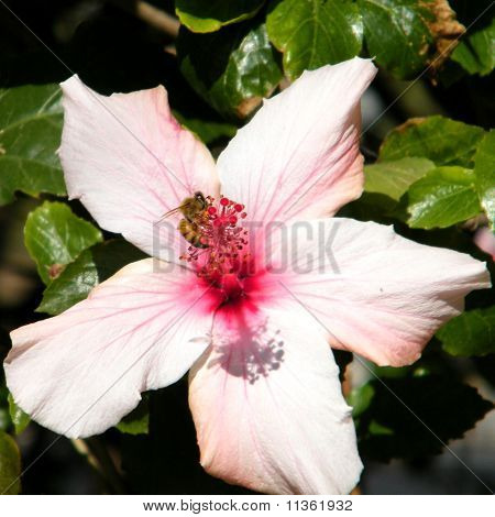 Or Yehuda Bee And Hibiscus
