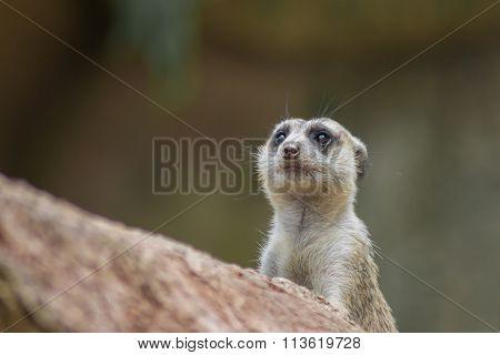 Patrolling Meerkat