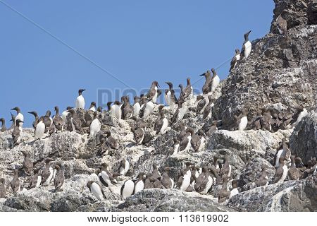 Common Murres On A Nesting Island