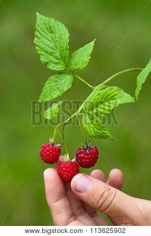 Hand Picking Berries Of Raspberries, Closeup
