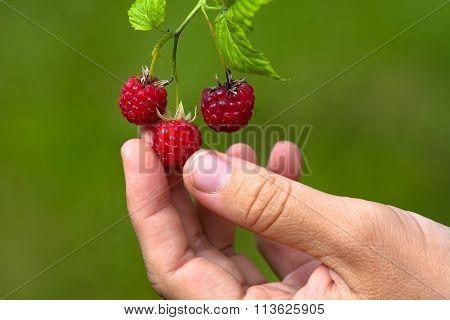 Hand Picking Berries Of Raspberries In The Garden