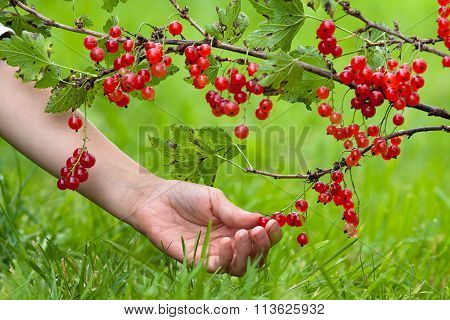 Hand Picking Red Berries Of Currant