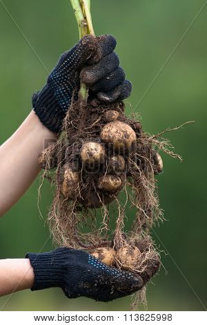 Hands In Gloves Holding Digging Bush Potato