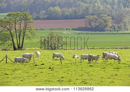 Normandy Cows On Pasture