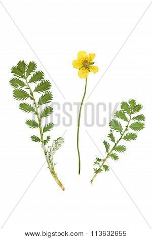 And Dried Flower And Green Carved Leaves Potentilla Anserina