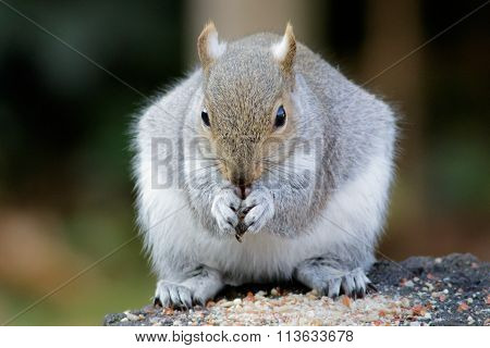 Grey Squirrel (sciurus Carolinensis)