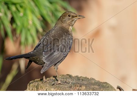 Female Blackbird (turdus Merula)