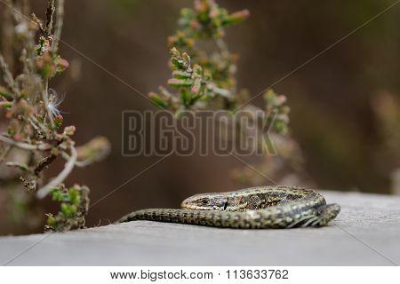 Common Lizard (zootoca Vivipara)