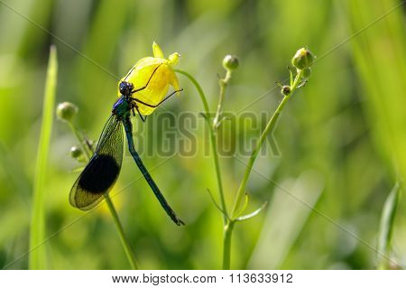 Male Banded Demoiselle (calopteryx Splendens) On A Flower