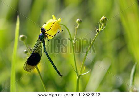 Male Banded Demoiselle (calopteryx Splendens) On A Flower