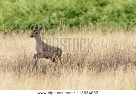 Red Deer Calf (cervus Elaphus)