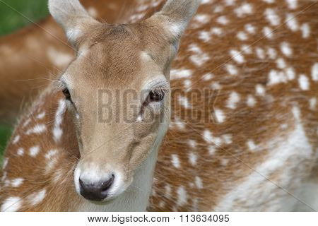 Portrait Of A Fallow Deer (dama Dama)