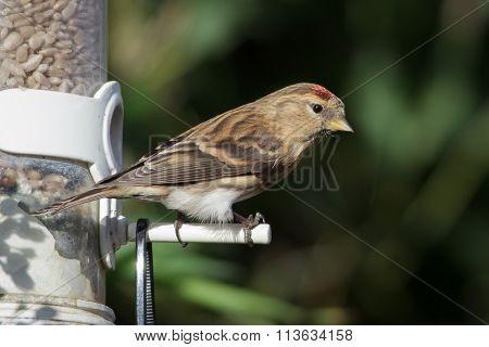 Lesser Redpoll (acanthis Cabaret)