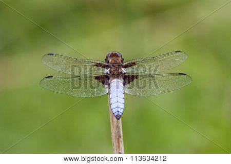 Male Broad-bodied Chaser (libellula Depressa)