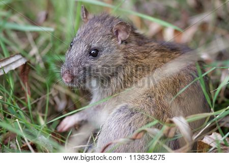 Brown Rat (rattus Novegicus)