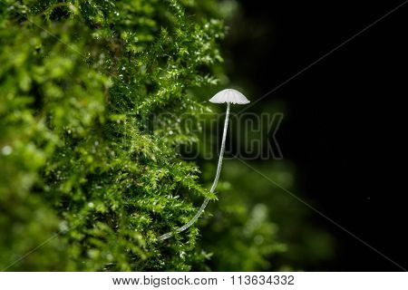 Frosty Bonnet (mycena Adscendens) On Moss