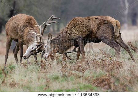 Red Deer (cervus Elaphus) Stags Dueling