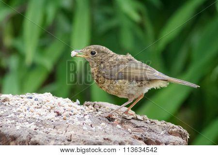 Juvenile European Robin (erithacus Rubecula)