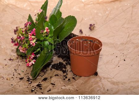 The Flower Of A Kalanchoe Is Taken From A Flowerpot And Lies Nearby, Prepared For Replant
